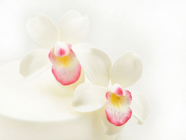 Zuckerblüte Cymbidium Orchidee 2er